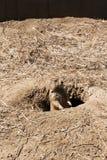 Prairie Dog on Gaurd Stock Photography