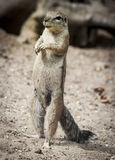 Prairie Dog. Genus Cynomys. Little Animal Standing on Two Legs royalty free stock photo
