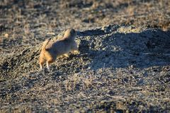 Prairie Dog genus Cynomys ludovicianus Black-Tailed in the wild, herbivorous burrowing rodent, in the shortgrass prairie ecosyst. Em, alert in burrow, barking to stock photos