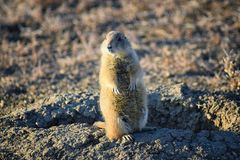 Prairie Dog genus Cynomys ludovicianus Black-Tailed in the wild, herbivorous burrowing rodent, in the shortgrass prairie ecosyst. Em, alert in burrow, barking to royalty free stock images