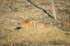 Prairie Dog genus Cynomys ludovicianus Black-Tailed in the wild, herbivorous burrowing rodent, in the shortgrass prairie ecosyst. Em, alert in burrow, barking to stock photography