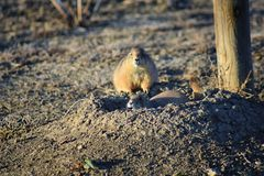 Prairie Dog genus Cynomys ludovicianus Black-Tailed in the wild, herbivorous burrowing rodent, in the shortgrass prairie ecosyst. Em, alert in burrow, barking to royalty free stock photos