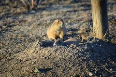 Prairie Dog genus Cynomys ludovicianus Black-Tailed in the wild, herbivorous burrowing rodent, in the shortgrass prairie ecosyst. Em, alert in burrow, barking to royalty free stock photography