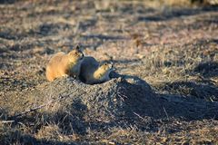 Prairie Dog genus Cynomys ludovicianus Black-Tailed in the wild, herbivorous burrowing rodent, in the shortgrass prairie ecosyst. Em, alert in burrow, barking to royalty free stock image