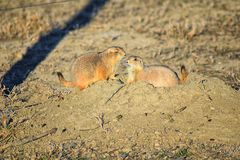 Prairie Dog genus Cynomys ludovicianus Black-Tailed in the wild, herbivorous burrowing rodent, in the shortgrass prairie ecosyst. Em, alert in burrow, barking to royalty free stock photo