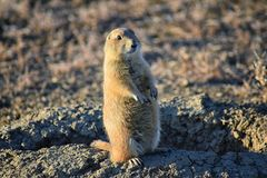 Prairie Dog genus Cynomys ludovicianus Black-Tailed in the wild, herbivorous burrowing rodent, in the shortgrass prairie ecosyst. Em, alert in burrow, barking to stock images