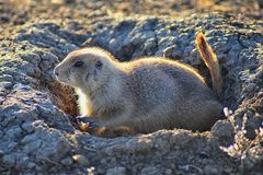 Prairie Dog genus Cynomys ludovicianus Black-Tailed in the wild, herbivorous burrowing rodent, in the shortgrass prairie ecosyst. Em, alert in burrow, barking to stock photo