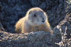 Prairie Dog genus Cynomys ludovicianus Black-Tailed in the wild, herbivorous burrowing rodent, in the shortgrass prairie ecosyst. Em, alert in burrow, barking to stock image