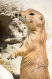 Prairie dog (genus Cynomys) standing up on his legs Stock Photography