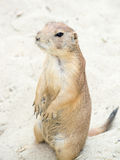 Prairie dog (genus Cynomys) standing up on his legs Royalty Free Stock Image