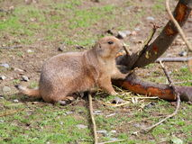Prairie dog gnawing bark closeup royalty free stock images
