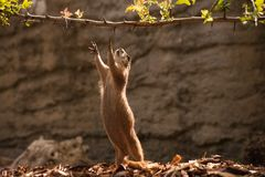 Prairie Dog gopher trying to reach branch Royalty Free Stock Images