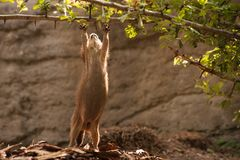 Prairie Dog gopher trying to reach branch Royalty Free Stock Photos