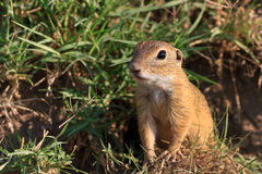 Prairie dog in the grass Royalty Free Stock Image