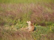 Prairie dog in grass Royalty Free Stock Photography