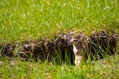 Prairie Dog Grass Burrow Yolyn Am Mongolia Stock Photography