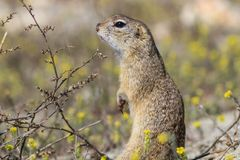 Prairie dog in the grass Stock Photography