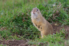 Prairie dog in the grass Stock Image