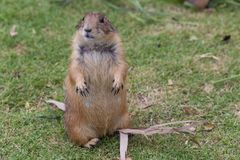 The prairie dog Stock Photography