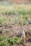 Prairie dog in the grass Royalty Free Stock Photo