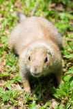 Prairie dog on grass Royalty Free Stock Photography