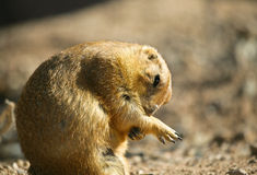 Prairie Dog grooming Stock Images