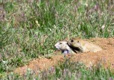 Prairie dog grooming. Stock Image