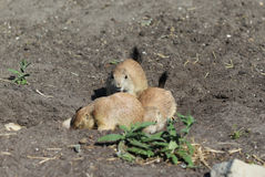 Prairie dog group Stock Image
