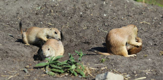 Prairie dog group Royalty Free Stock Photography