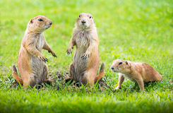 Prairie dog. Group of prairie dog in the meadow stock images