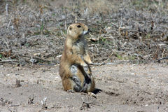 Prairie dog on guard Stock Photography