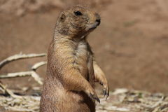 Prairie dog Royalty Free Stock Image