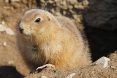 Prairie Dog. At The Hershey Zoo Stock Photography
