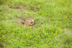 Prairie dog hiding in a safe place Royalty Free Stock Photo