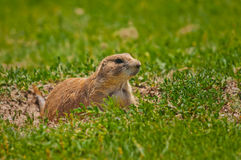 Prairie Dog At His Burrow Royalty Free Stock Image