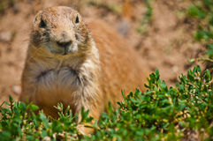 Prairie Dog At His Burrow Royalty Free Stock Photography