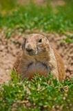 Prairie Dog At His Burrow Stock Photo
