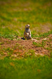 Prairie Dog At His Burrow Stock Images