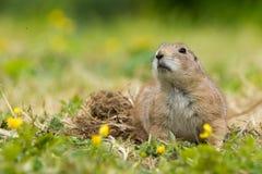 Prairie Dog royalty free stock photography