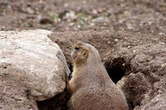 Prairie Dog in his Hole stock images