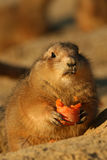 Prairie dog holding carrot and looking at you Royalty Free Stock Photography