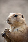 Prairie Dog  holding stick Stock Images