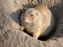 Prairie dog in hole. Prairie dog is looking out from the hole Stock Images
