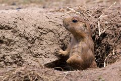 Prairie Dog in Hole Royalty Free Stock Images