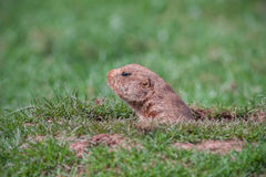 Prairie Dog. A Prairie Dog in a Hole Looking Curiously Royalty Free Stock Photos