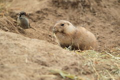 Prairie dog and house sparrow Stock Photography