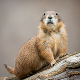 Prairie Dog II Royalty Free Stock Photo