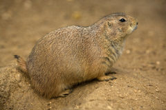 Prairie dog III. These stout-bodied rodents grow to be between 30 and 40 centimetres long, including the short tail and weigh between 0.5 and 1.5 kilograms Stock Photos