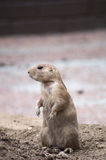 Prairie dog. Image of a prairie dog up close Royalty Free Stock Image