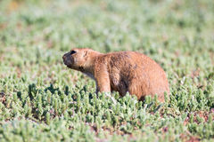 Prairie dog with an itch Royalty Free Stock Photography